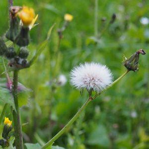 #pissenlit #nature #plante #campagne #herbes #fleurs #Berry